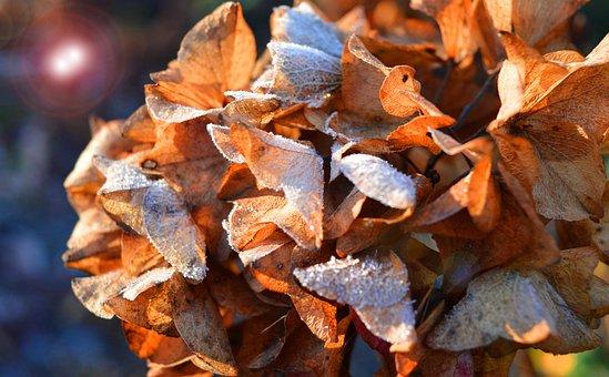 Hydrangea Flower, Faded, Winter, Frost, Close Up