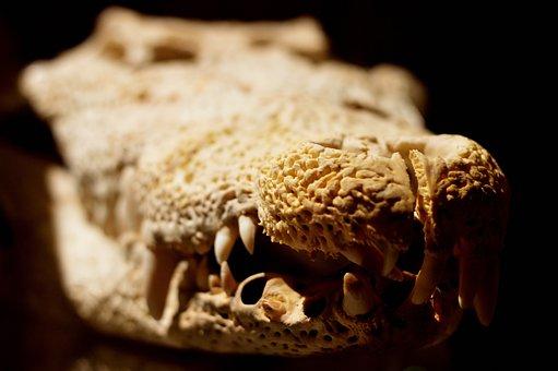 Crocodile, Reptile, Bone, Head, Skeleton, Skull, Nature