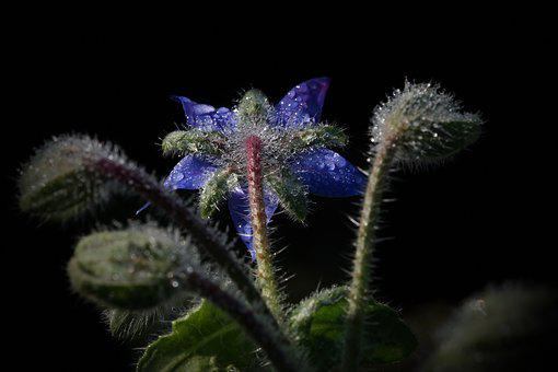 Borage, Borago Officinalis, Drop Of Water, Blue, Drip