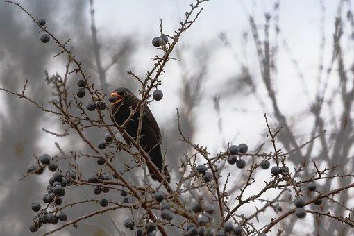 Blackbird, Aesthetic, Eat, Berry, Nature, Bird, Bill