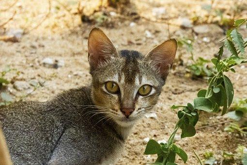 Pet, Cat, Animal, Domestic, Face, Kitten, Cute, Eye