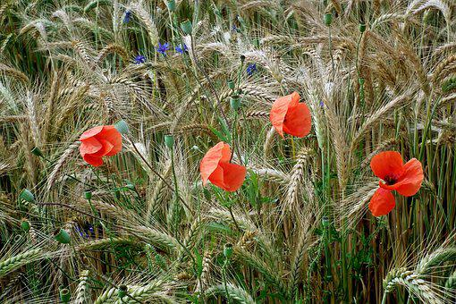 Corn, Poppies, Red, Grains, Field, Nature, Agriculture