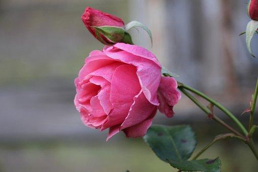 Rose, Pink, Flower, Flora, Aroma, Nature, Beautiful