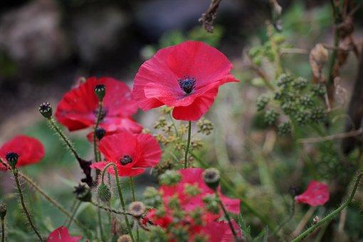 Mack, Nature, Flower, Red, Flowers, Garden, Landscape
