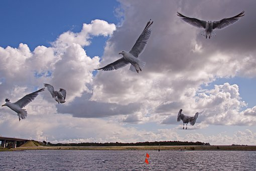 Gulls, Birds, Expensive, Flying, Natural, Flight, Wings