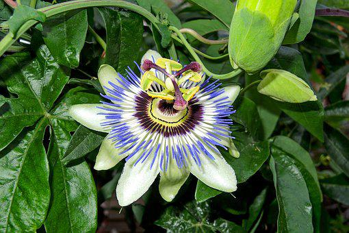 Garden, Nature, Summer, Flowers, Passion Flower, Beauty