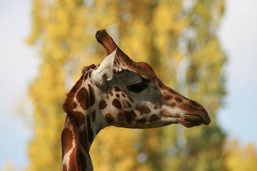 Giraffe, Zoo, Stains, Animal, Animal Portrait, Head