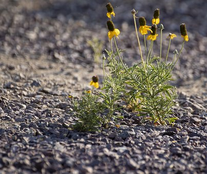 Gravel, Yellow Flower, Desert Flower, Drought Tolerant