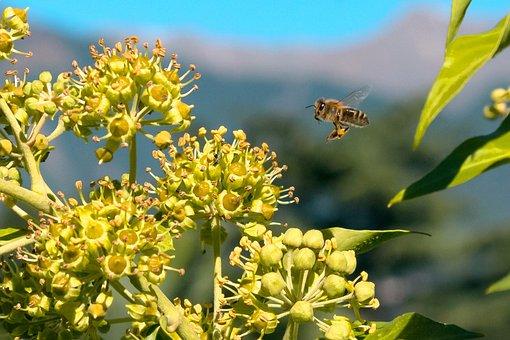 Bee, Pollen, Honey Bee, Nature, Blossom, Bloom, Nectar