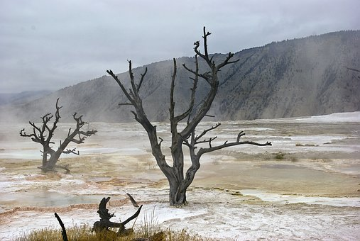 Canary Spring Skeletal Trees, Mammoth, Hot, Spring