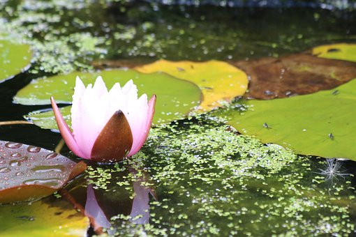 Lilly, Pond Lilly, Lotus Flower, Pond, Lotus, Water