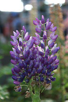 Purple Flowers, Lupine, Purple, Flower, Purple Flower