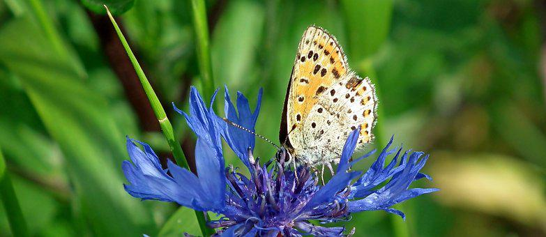 Butterfly, Insect, Flower, Cornflower, Nature, Macro