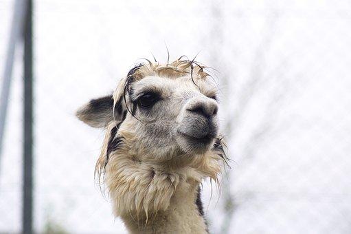 Lama, Animals, Alpaca, Head, Mammal, Animal World, Cute