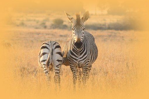 Zebra, Mother, Baby, Drink, Hartmann, Mountain Zebra