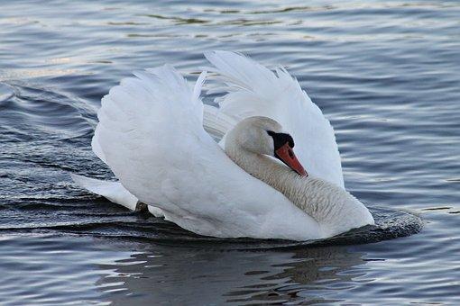 Mute Swan, Swan, Vattenfågel