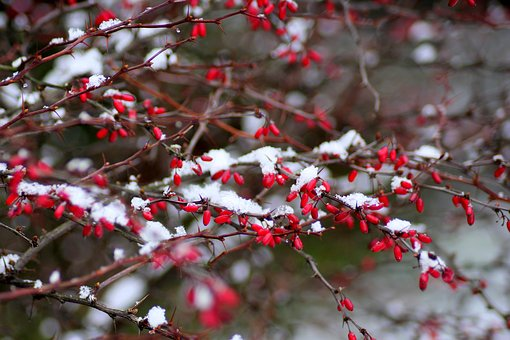 Barberry, Winter, Bush, Snow, Fruit, Nature, Sprig