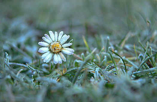 Daisy, Snow, Winter, Bloom, Flowers, Nature, Leann