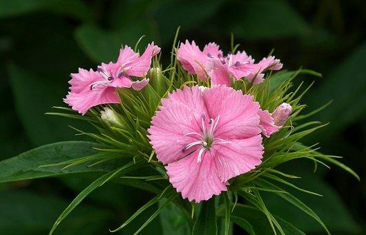 Gożdzik Stone, Flowers, Garden, Pink, Nature, Closeup