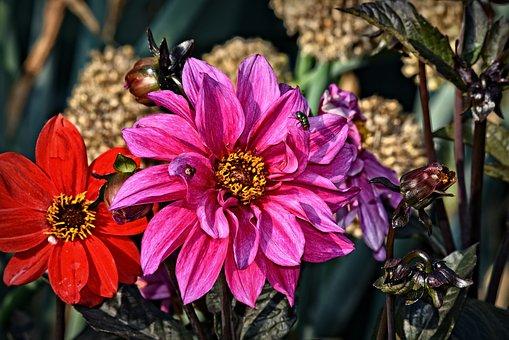 Dahlia, Flower, Plant, Petal, Blossom, Asteraceae