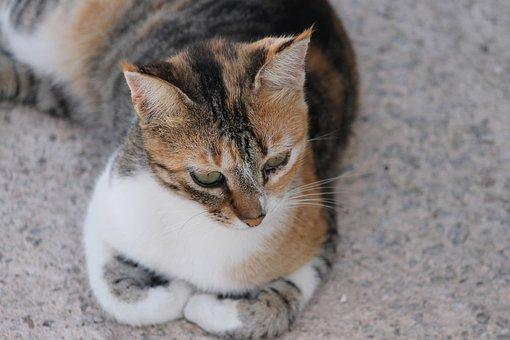 Cat, Gold, Tricolor, Portrait, Concerns, Face