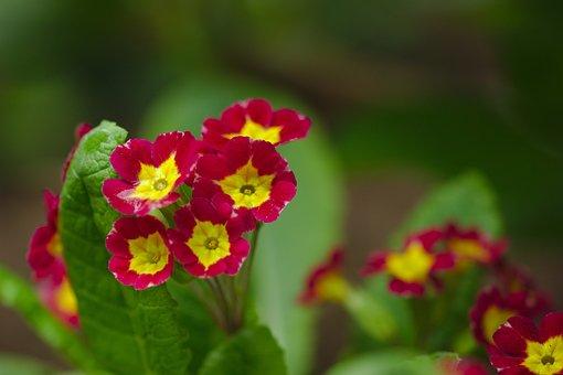 Nature, Flower, Red, Pri, Spring, Nice, Supplies
