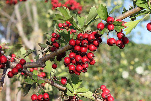 Berry, Red, Nature, Leaves, Flower, Trees, Tree