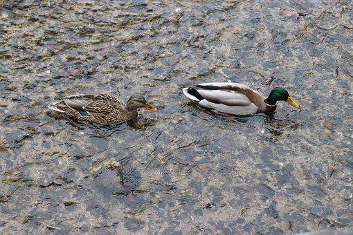 Duck, River, The Couple, Couples, Couple, Animal