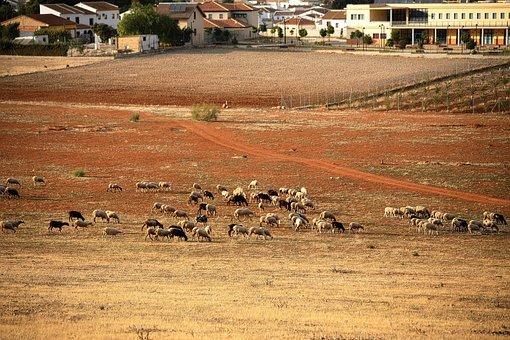 Sheep, Sheepfold, Farm, Wool, Animal, Mammals