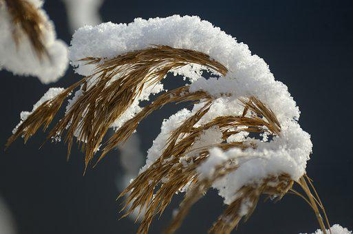 Reed, Reeds, Snow, Winter, Snowy, Nature, Plant, Macro