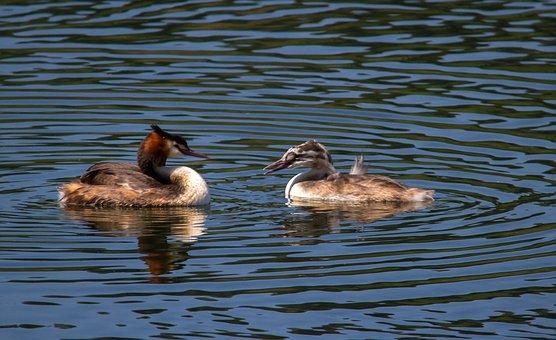 Great Crested Grebe, Birds, Water, Water Bird, Chicks