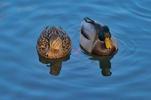 Ducks, Drake, Duck, Bird, Water