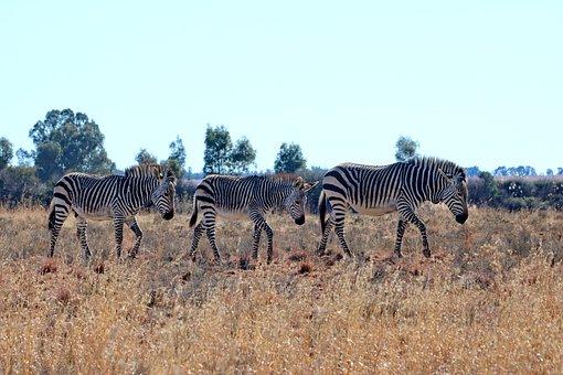 Hartmann's, Zebra, Mountain Zebra, Mammal, Stripes