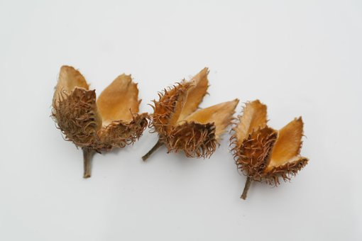 Beech Nuts, Fruit Pods, Sleeves, Achene, Beech