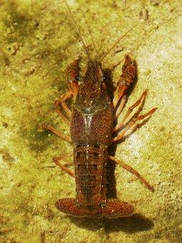 Crayfish, American Crab, Invasive Species, Priorat