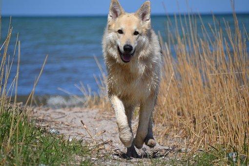 Animal, Dog, Sled Dog Hybrid, German Shepherd Hybrid