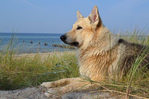 Animal, Dog, Sled Dog, Sea, Beach, Baltic Sea, Wet, Pet