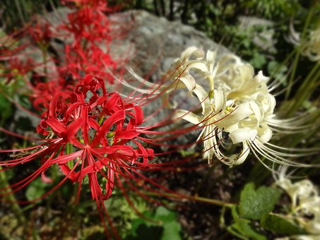 Flowers, Amaryllis, Plant, Autumn Flowers Spider Lily