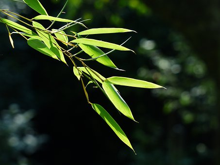 Bamboo, Bamboo Leaves, Leaves, Green, Licorice, Poaceae