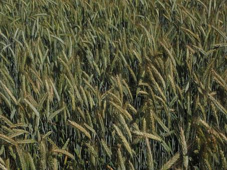 Barley, Barley Field, Cereals, Field, Agriculture
