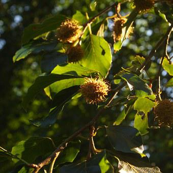 Beech Nuts, Summer, Tree, Green, Sheet, Leaves, Forest