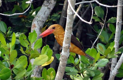 Brown-winged Kingfisher, Bird, Kingfisher
