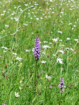 Heath Spotted Orchid, Orchid, Flower, Blossom, Bloom