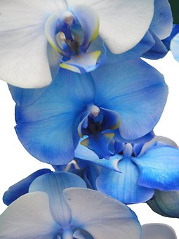 Orchid, Blue, Light Blue, Tender