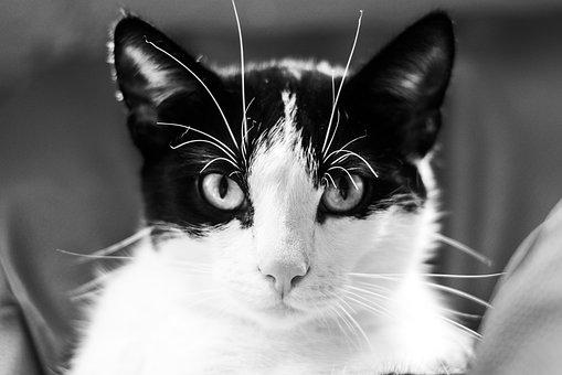 Cat, Kitten, Tomcat, A Young Kitten, Black And White