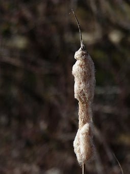 Cattail, Reeds, Flying Seeds, Wool, Typha, Lampenputzer