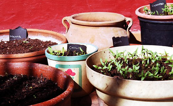 Aromatic Plants, Cilantro, Chilis, First Outbreaks