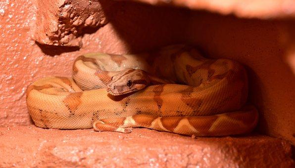 Snake, Boa, Boa Constrictor Imperator, Constrictor