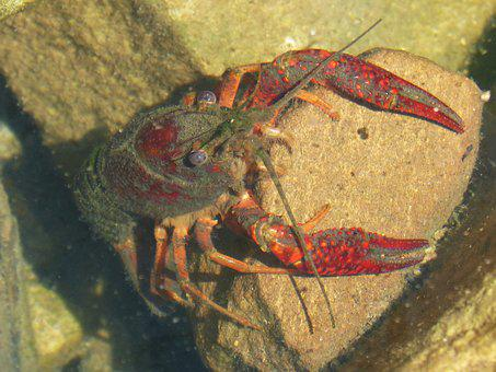 American Crab, Crayfish, Rocks, Tweezers, River
