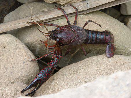 American Crab, Crayfish, Clip, Crustacean, Montsant